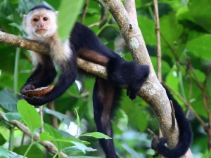 Capuchin Monkey in Costa Rica (Copyright © 2011, James Matthews)
